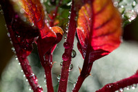 Fuschia and Drops